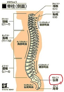 bone_vertebrae_lats-.jpg